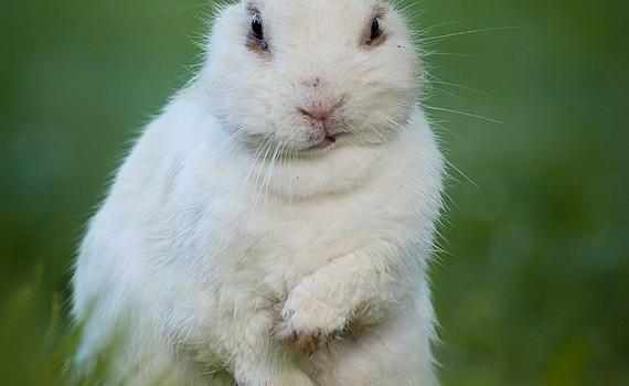 white rabbit is annoyed